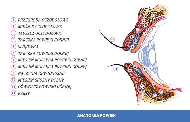 anatomia powiek