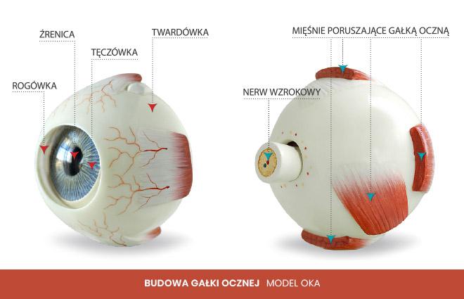 budowa gałki ocznej model oka 2