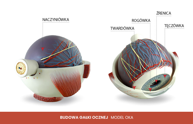 budowa gałki ocznej model oka 1