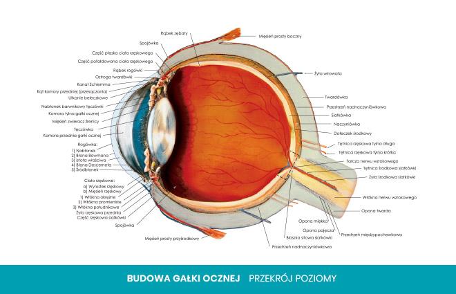 budowa oka przekrój poziomy