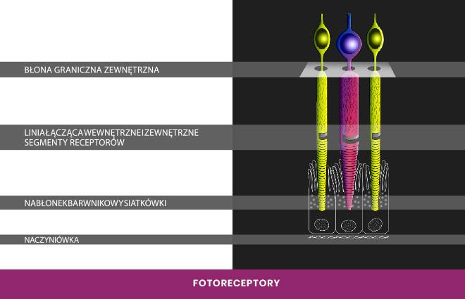 fotoreceptory